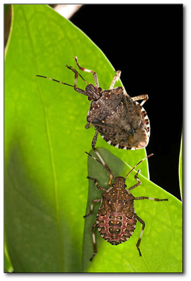 Detection and Management of Brown Marmorated Stink Bug (1 credit)