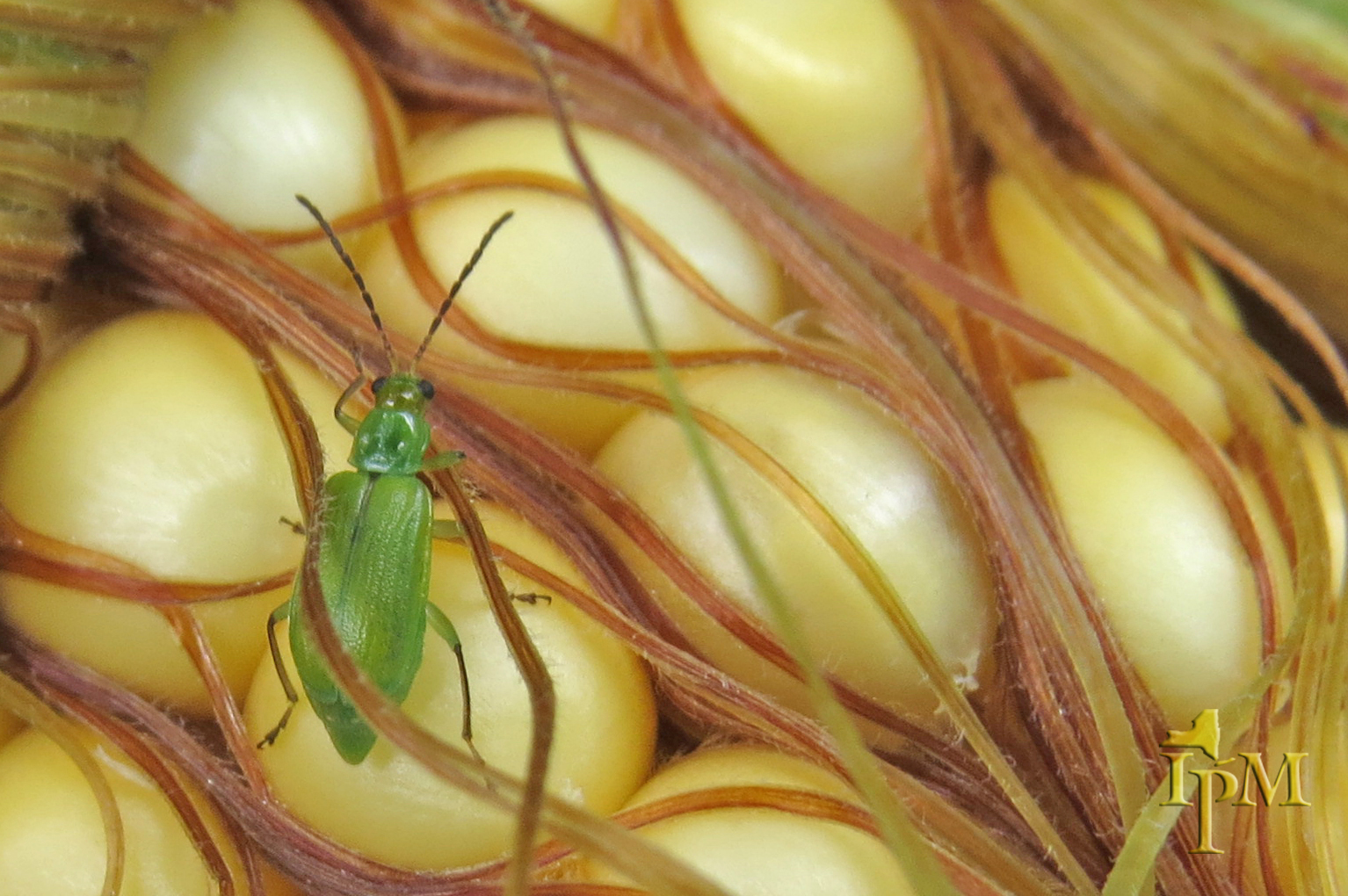 IPM for Insect Pests on Field Corn (1 credit in NY)