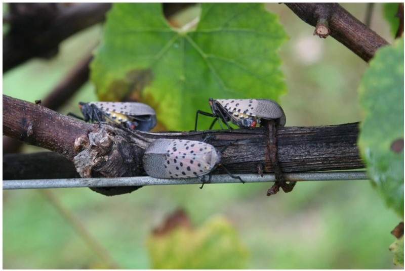 Spotted Lanternfly -- Understanding its Ecology and the Threat (1 or 0.5 credit in NY, depending on category)